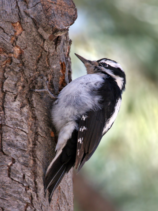 IMG_8385a Hairy Woodpecker.jpg