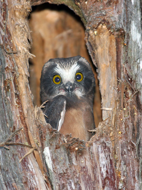 IMG_9956 Northern Saw-whet Owlet.jpg