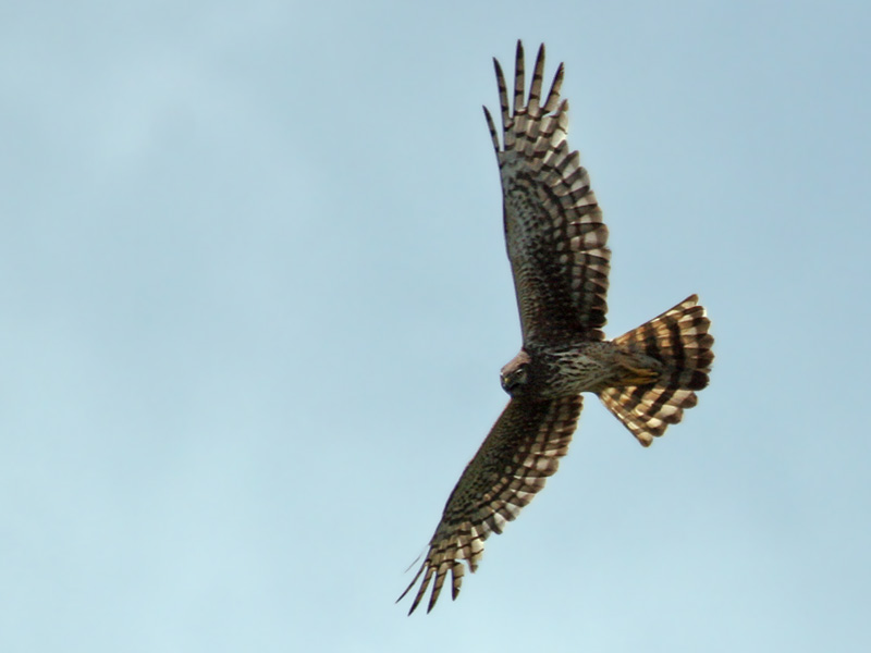 IMG_1740 Northern Harrier.jpg