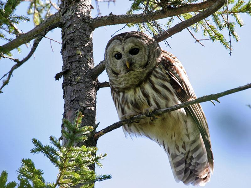 IMG_9559 Barred Owl.jpg