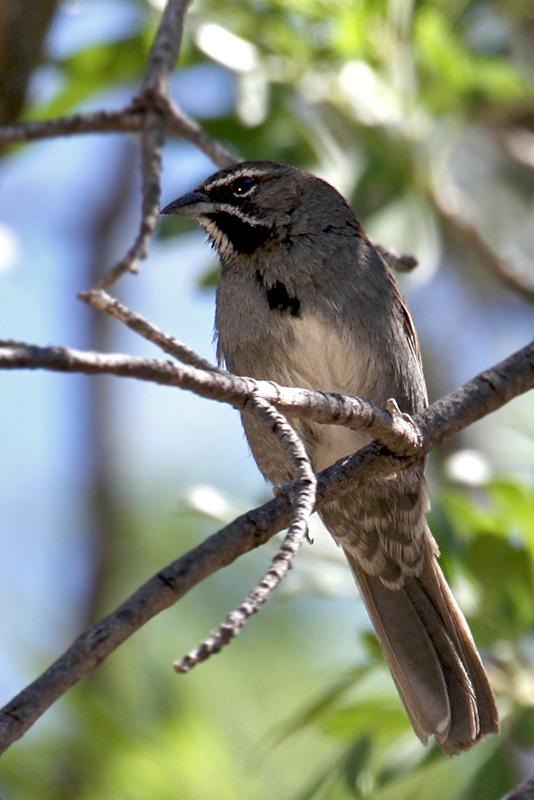 IMG_6906 Five-striped Sparrow.jpg
