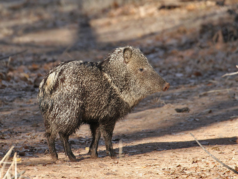 IMG_3402a Collared Peccary.jpg