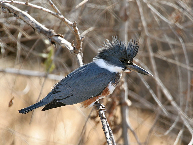 IMG_6780 Belted Kingfisher.jpg