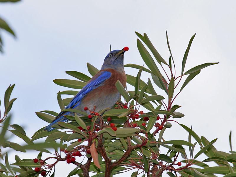 IMG_7968a Western Bluebird.jpg