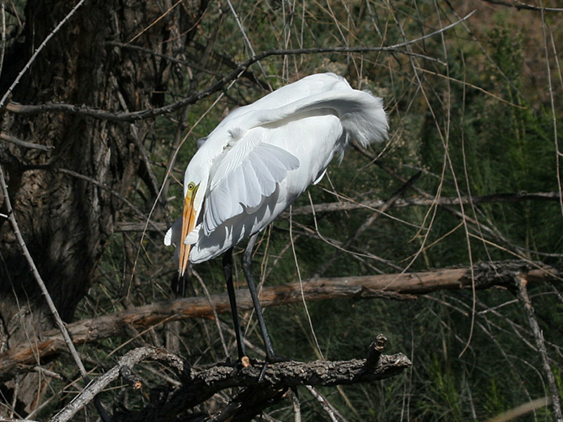 IMG_8536 Great Egret.jpg