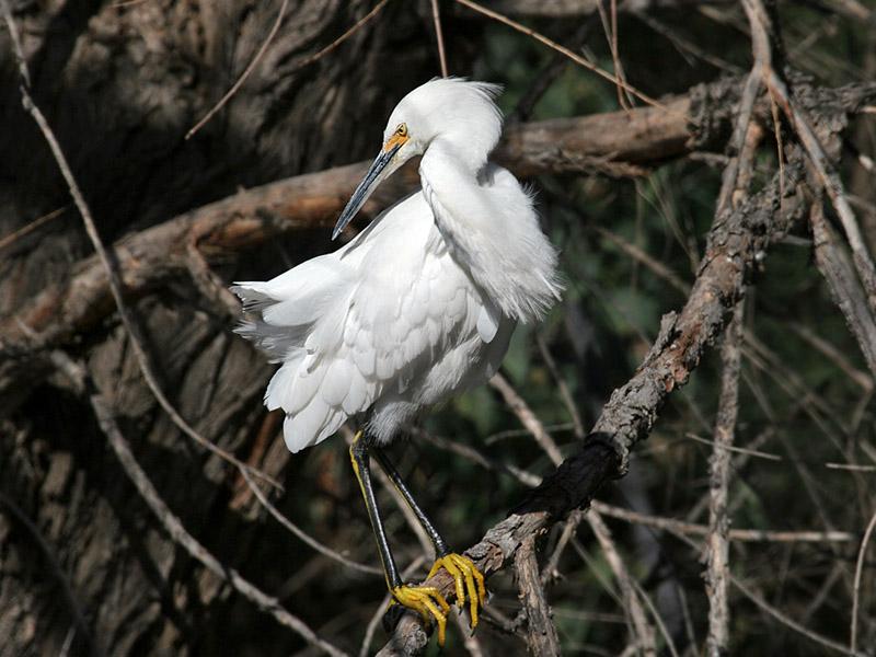 IMG_8562 Snowy Egret.jpg