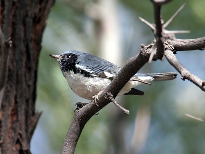 IMG_9564 Black-throated Blue Warbler.jpg