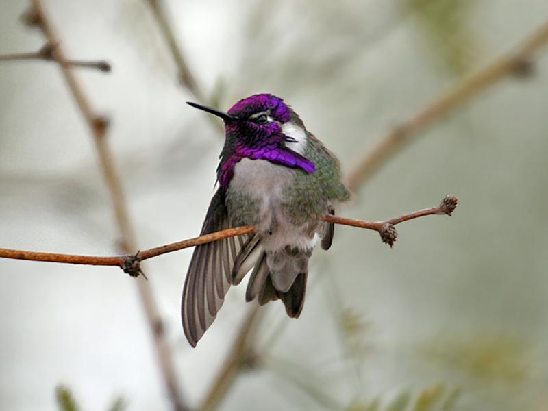 IMG_0046 Costas Hummingbird.jpg