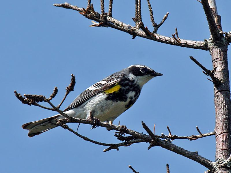 IMG_5109 Yellow-rumped Warbler.jpg