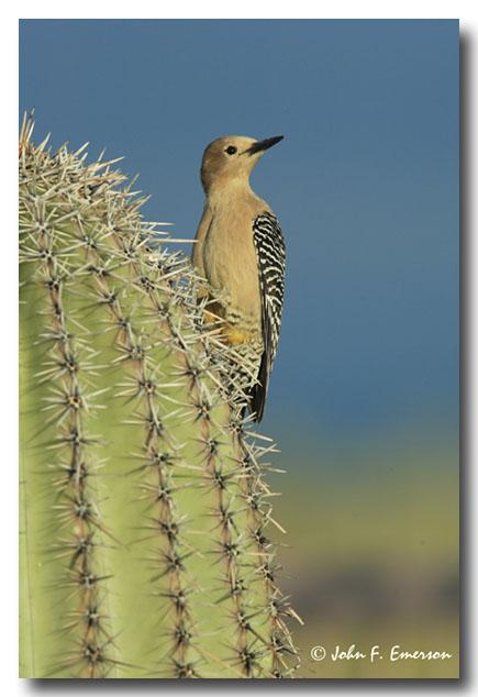 Gila Woodpecker, Female