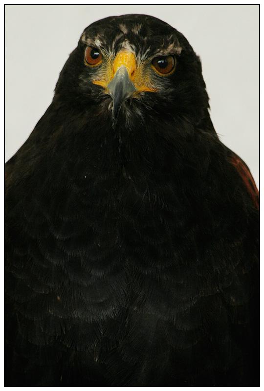 05 Hawk.jpg