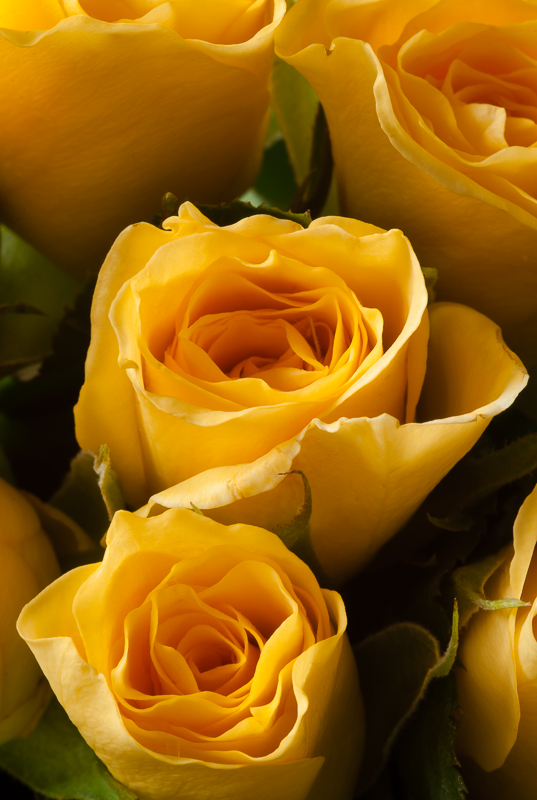 1 March: Miniature Yellow Roses