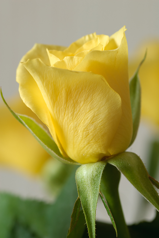 3 March: Yellow Rose
