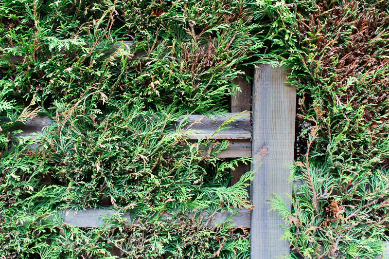 18 March: Fence and Conifers