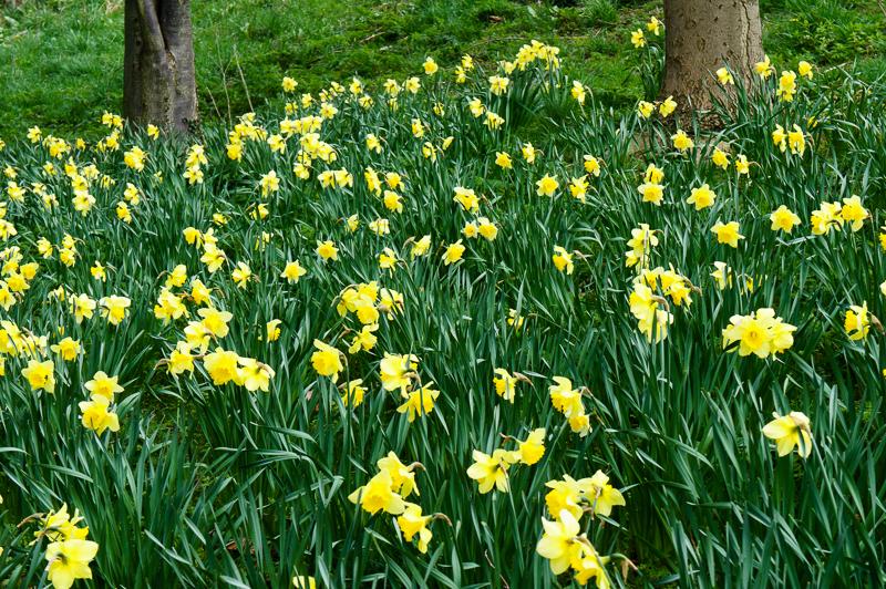 26 April: Daffodils