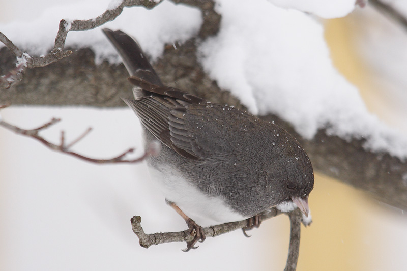 dark-eyed junco 053.jpg