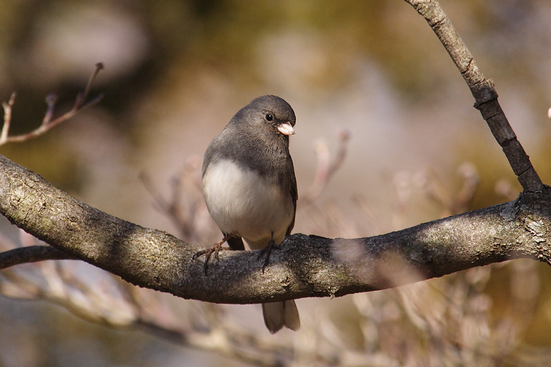 dark-eyed junco 072.jpg