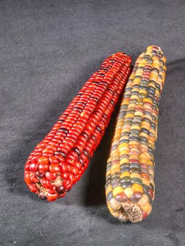 Colourful corn 9380>2HF