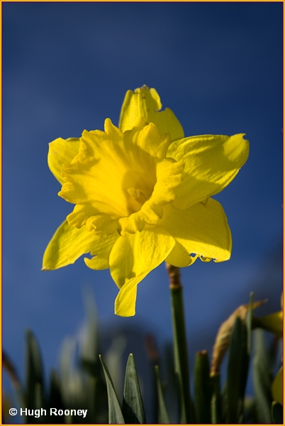 IRELAND - CO.SLIGO - DRUMCLIFFE - A DAFFODIL OUTSIDE THE CHURCH