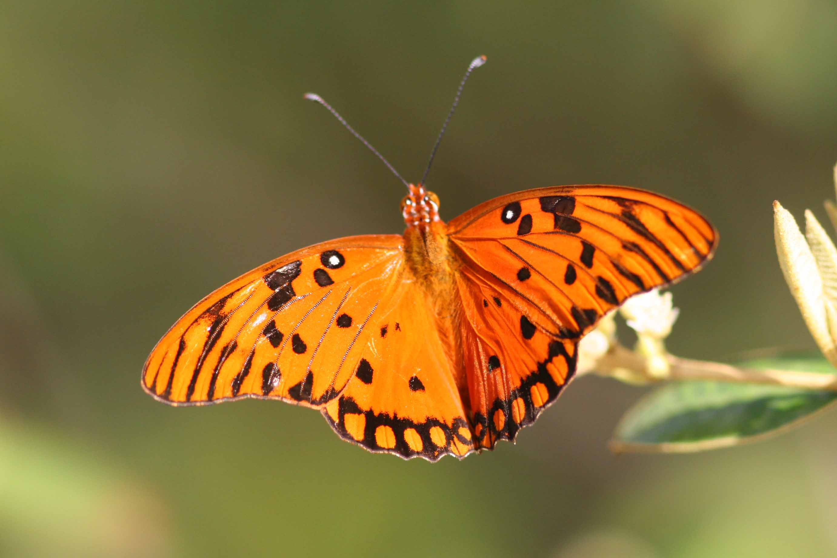 Gulf Fritillary Butterfly, Guanica State Forest, Puerto Rico
