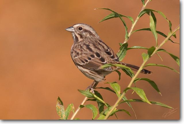 <!-- CRW_7973.jpg -->Song Sparrow