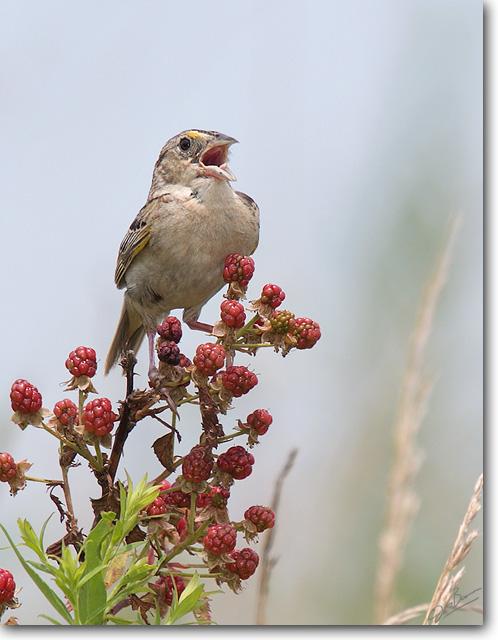 <!-- CRW_8418.jpg -->Grasshopper Sparrow