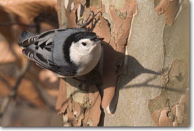 <!-- CRW_9571.jpg -->White-breasted Nuthatch