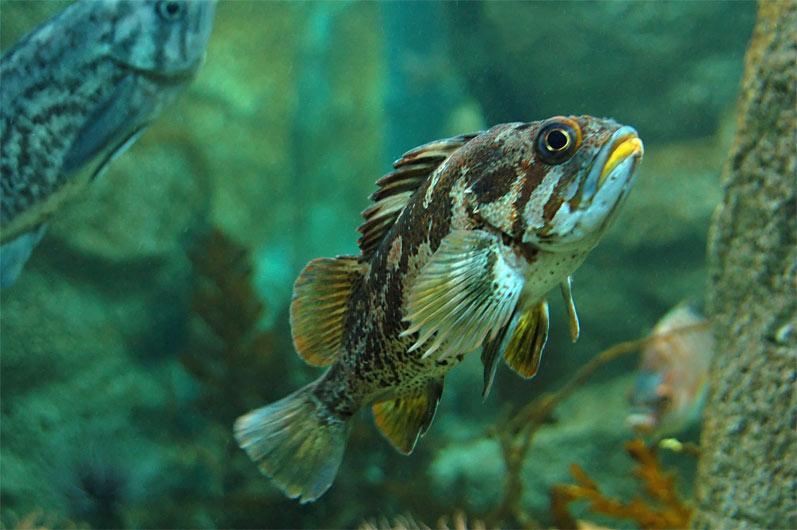 Yellow-lip Fish