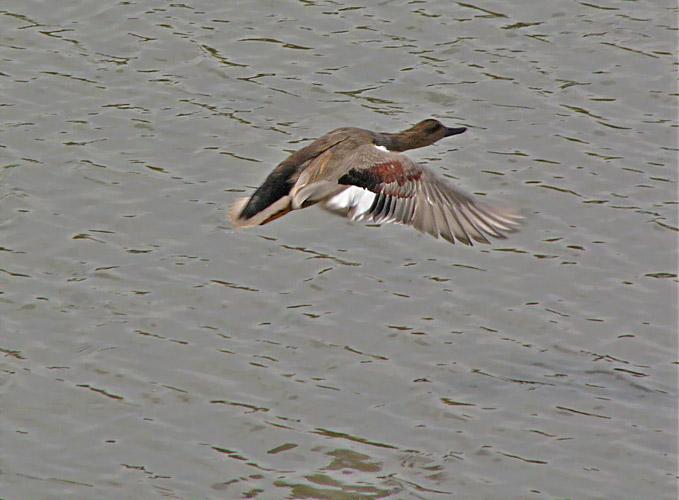 Gadwall Flying