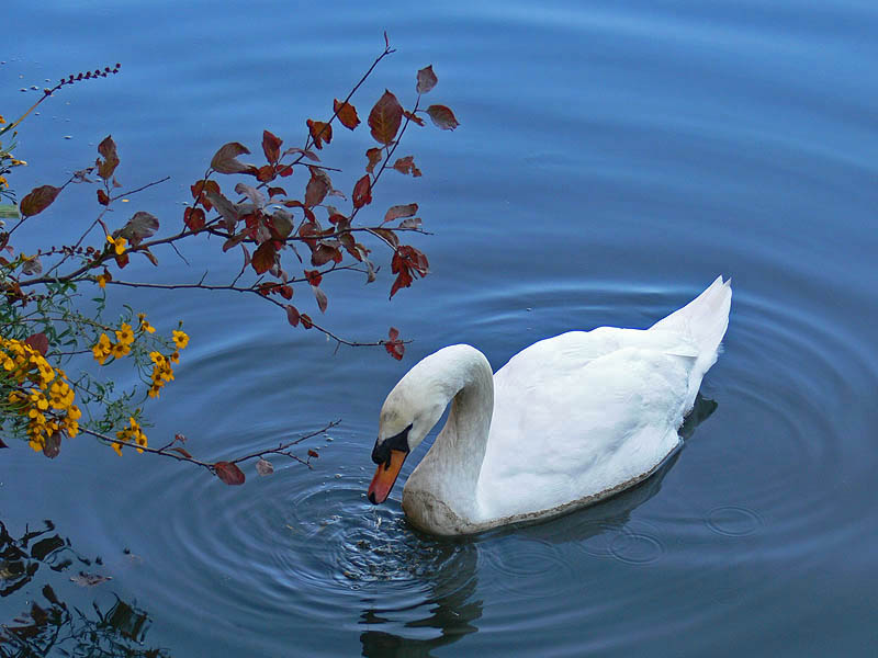 Swan and Yellow Flowers