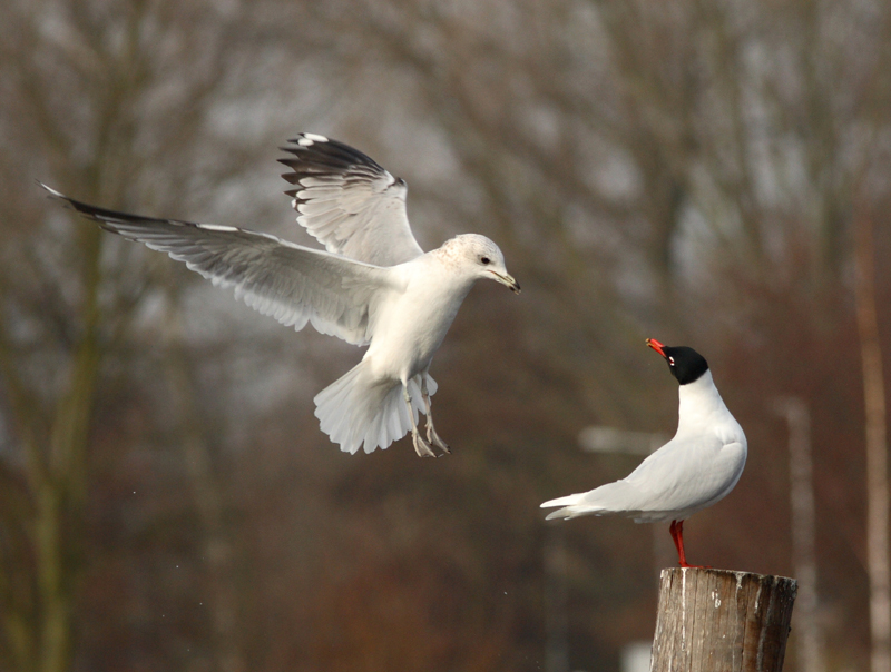 Common and Mediterranean Gull