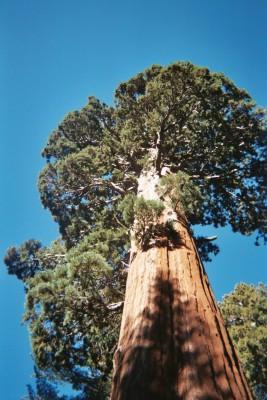 giant sequoia paper.jpg