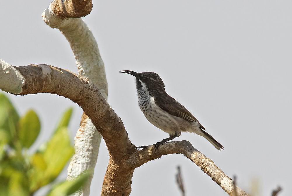 Socotra Sunbird (Sokotrasolfågel) Chalcomitra balfouri