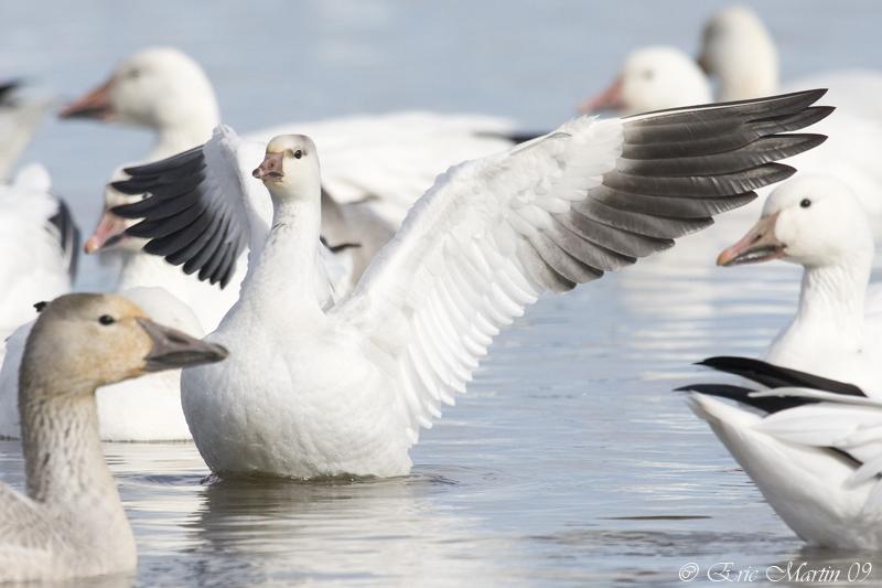 Oies de Ross /  Rosss Goose