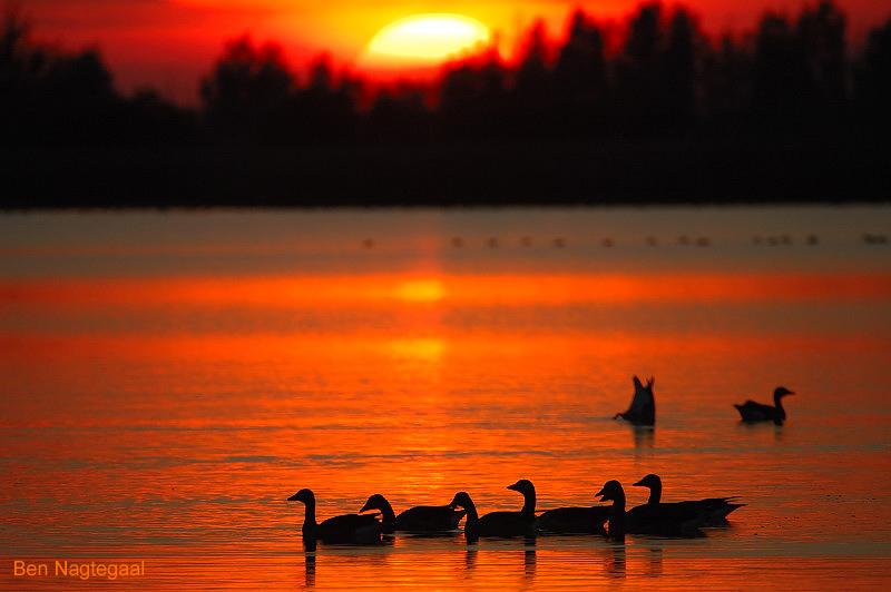 Grauwegans - Greylag goose - Anser anser