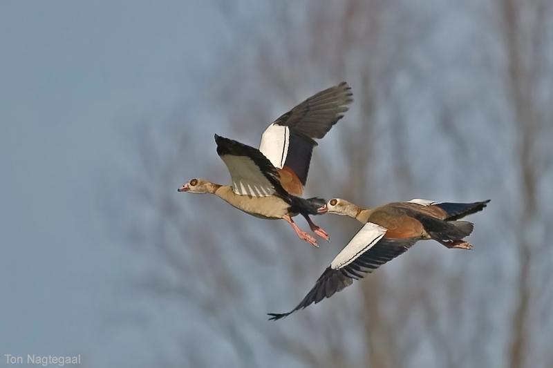 Nijlgans - Egyptian goose - Alopochen aegyptiacus