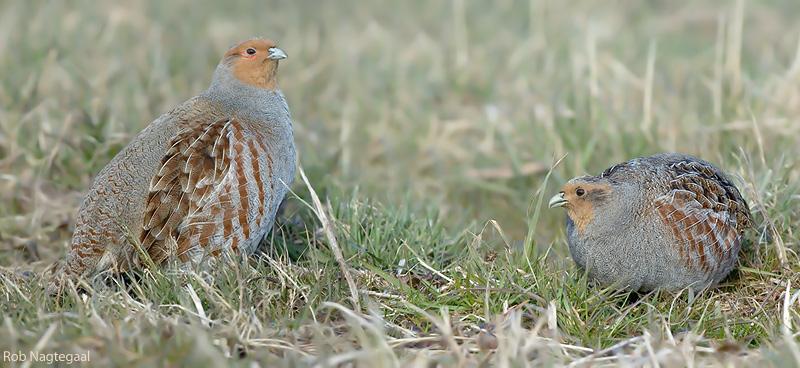 Patrijs - Grey partridge - Perdix perdix