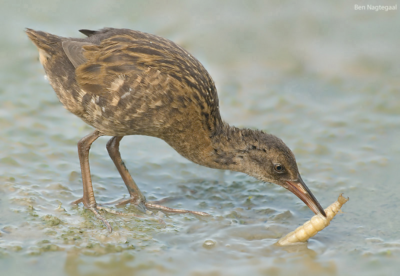 Waterral -  Water rail - Rallus aquaticus