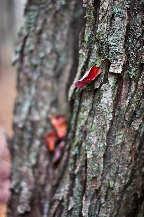 Fallen Leaf Caught in Tree Bark