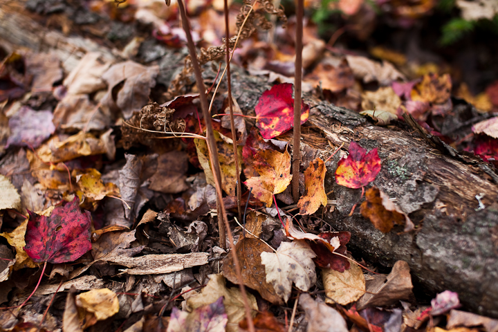 Red Leaves on Fallen Branch