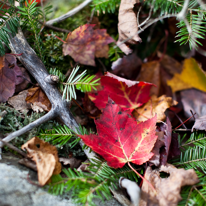 Fallen Leaves in Pine Branches