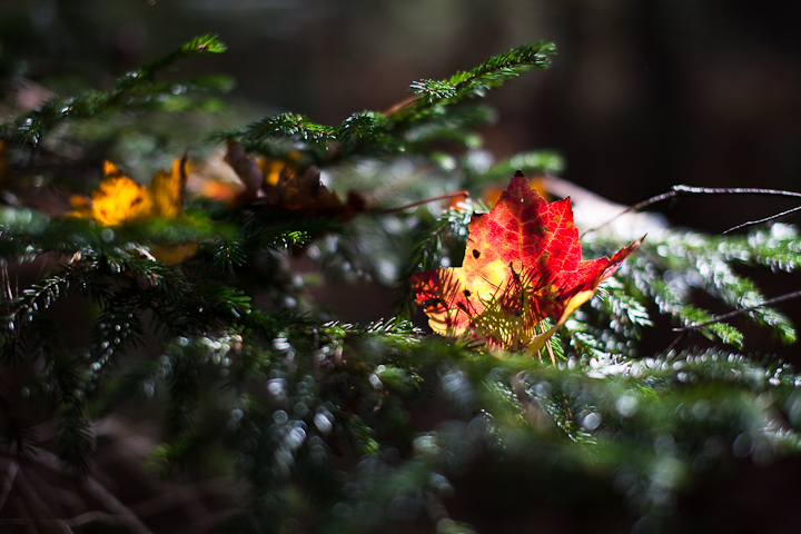 Red and Yellow Leaf Caught on Fir Branch