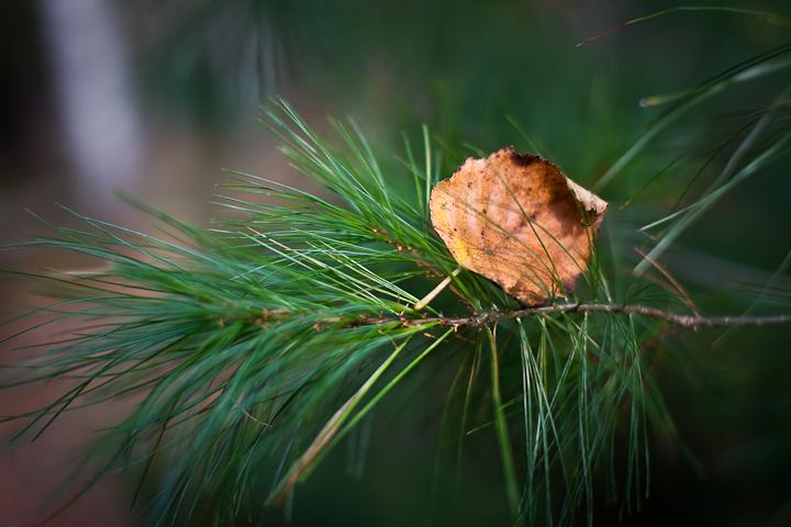 Brown Leaf Caught in White Pine Brach