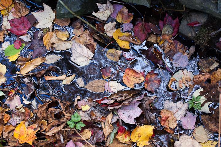 Fallen Leaves on Water #5