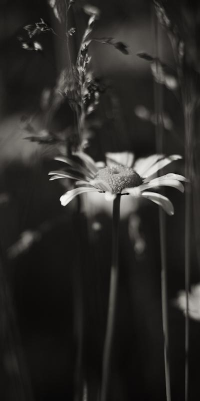 Lone Daisy Among Grasses