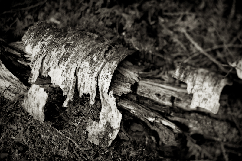 Decaying Birch Branch