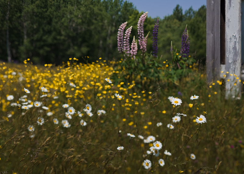 Daisies with Lupines by Shed