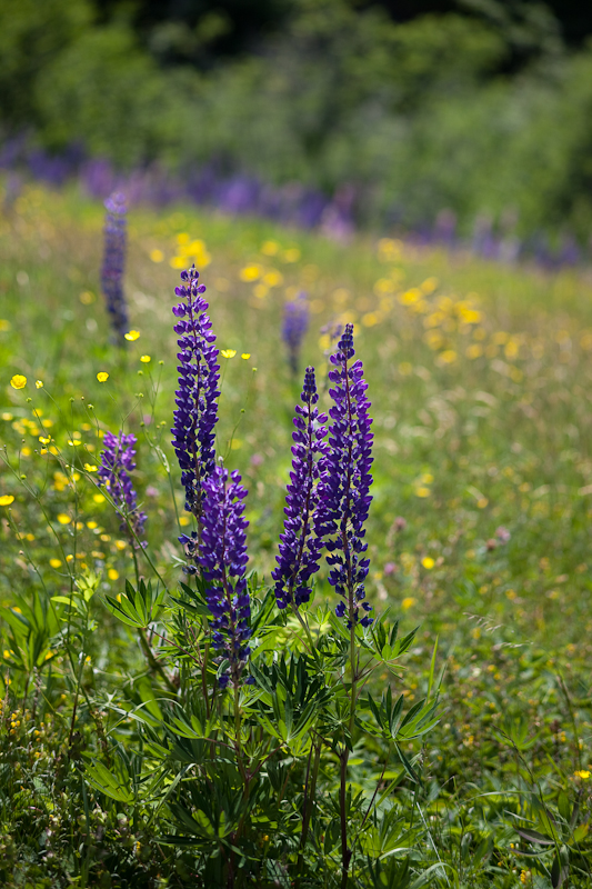 Lupines with Yellow Hawkweed and Buttercups