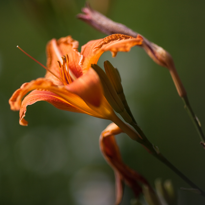 Second Lily 2010
