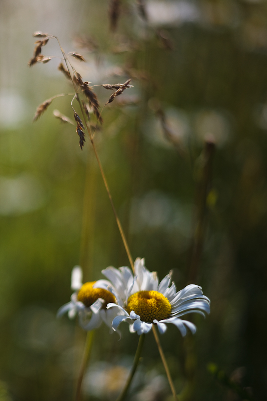 Daisy and Grass #2